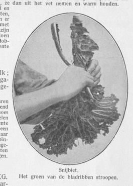 Snijbiet - Ik kan koken - foto blad stropen