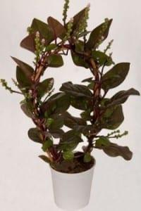 Malabar Spinazie - kamerplant