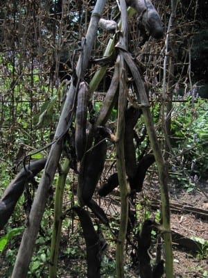 De tuinbonen aan de plant laten hangen, tot ze zwart zijn.