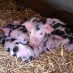 Zeven biggen geboren