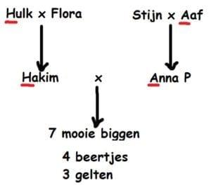 Zeven biggen geboren - stamboom