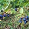 Poeh poeh wat is het warm – blauwe bes