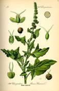 Guter Heinrich (Chenopodium bonus-henricus)