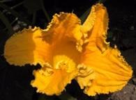 pompoen - bloem.jpg