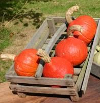 pompoen - oogst.jpg
