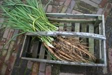Haverwortel in kist.jpg