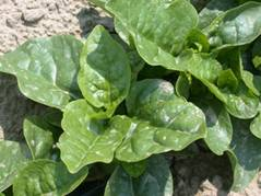 http://www.worldcrops.org/images/content/Malibar_spinach_at_Umass_Farm_-_440_by_265.JPG
