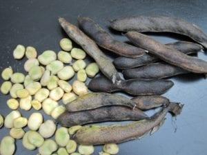 Tuinbonen - zaadwinning