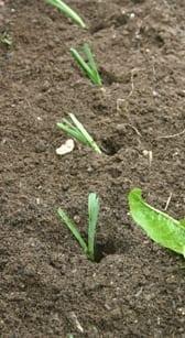 Prei uitplanten 2