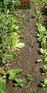 Prei uitplanten na drie weken
