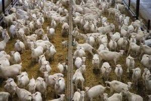 Vee-industrie moet stoppen - geiten