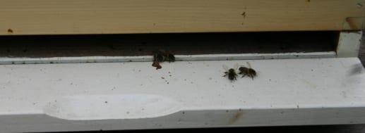 Bijen komen uit de kast - de eerste bijen