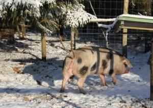 Varkens in de kou - Janneke loopt terug