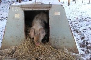 Varkens in de kou - Koos komt kijken