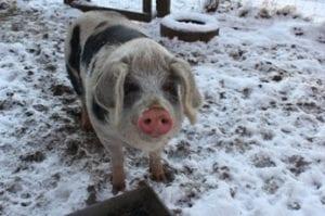 Varkens in de kou - U stoort bij het eten