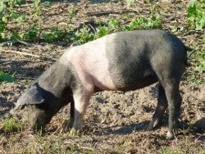 BESH - deutsches sattelschwein