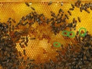 Koningin zoeken op Koningsdag - kleuren stuifmeel (Custom)