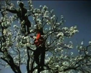 Beeld uit Vara Zembla: Chinezen bestuiven fruitbomen met de hand