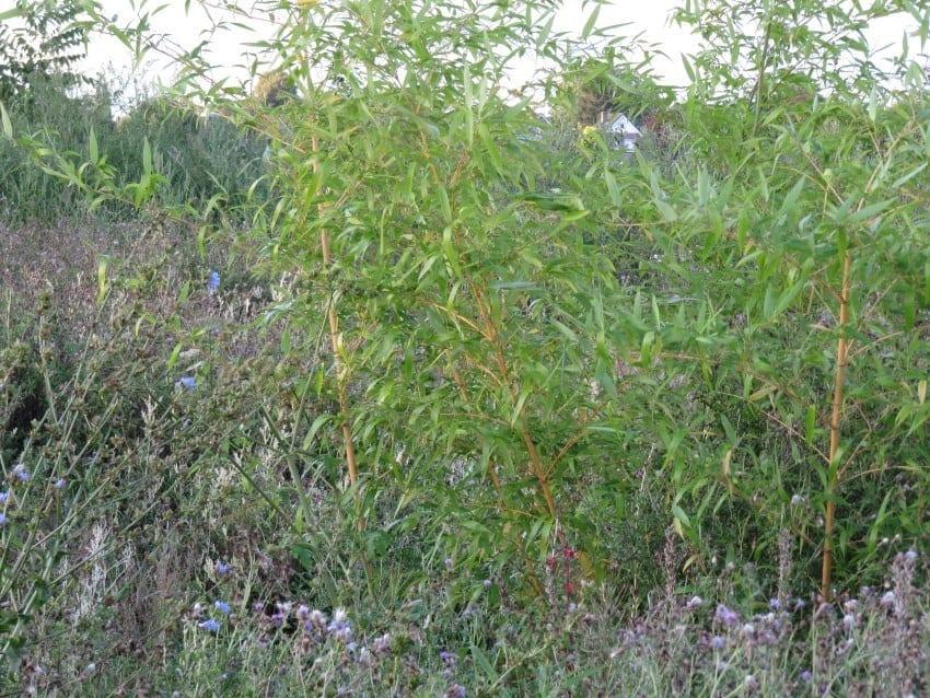Ketelbroek – gele bamboe