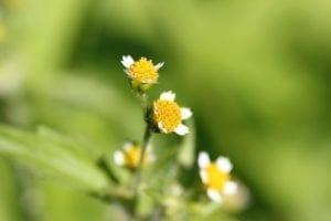 Knopkruid - bloem