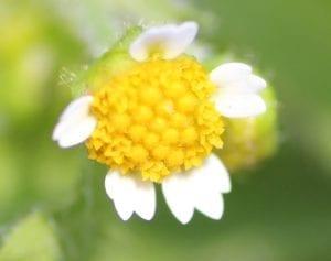 knopkruid - bloem 2