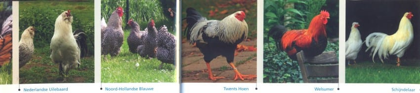 Kippen in de tuin - kippenparade (Custom)
