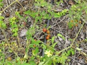 Het oertomaatje dat we vonden op een plantage op Galapagos. Smaakbommetje!