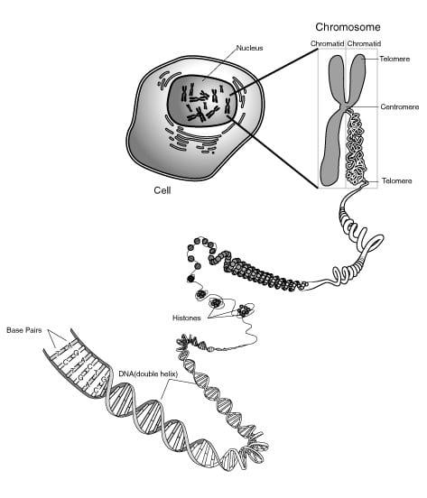 Tomaat in kaart gebracht = gen dna chromosoom