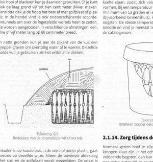 Voorbeeld plantbeschrijving - witlof illustratie 300x317