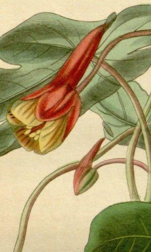 Mashua - bloem - kapucijner muts