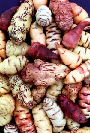 Wat een diversiteit aan gekleurde knollen - foto Wikicommons, Micheal Hermann