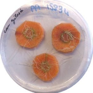 Agrobacterium rhizogenes door FruitDefendu, Wikimedia Commons