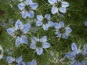 Nigella Sativa, Herb-Garden Huntington, door-Pamla-J-Eisenberg, Wiki Commons