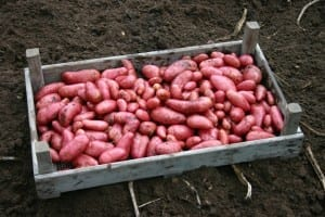 Familierecepten - rode aardappelen