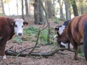De koeien van Veld en Beek (Doorwerth) lopen in het bos.