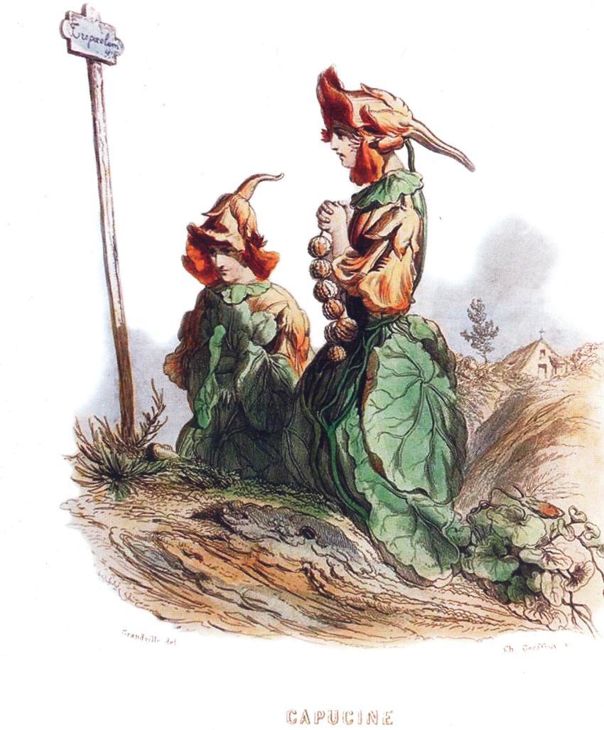 Oost-Indische Kers - capucine