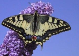 Vlinder - Koninginnepage
