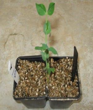Ook planten schatten kansen in - 1 erwt in 2 potten
