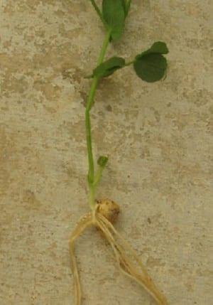Ook planten schatten kansen in - gespleten wortels