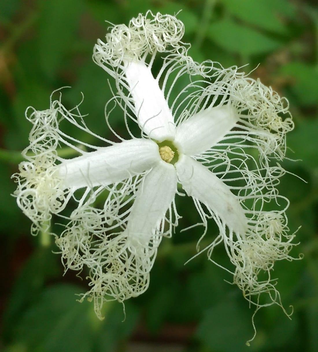 Slangkalebas - bloem 1100x1215
