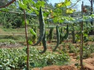 Slangkalebas - hangend - foto Aruna - Wiki Commons