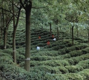 Uit: Agroforestry in China.  Thee onder rubberbomen.