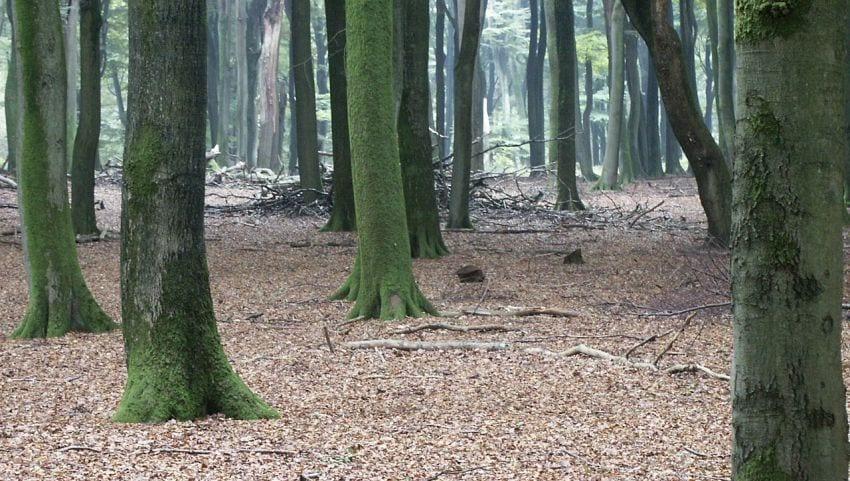 Beukenbos, Vierhouten, 2014 - foto Wiki Commons