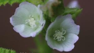 Kleine bloempjes (max 1 cm diameter) in de bladoksels.