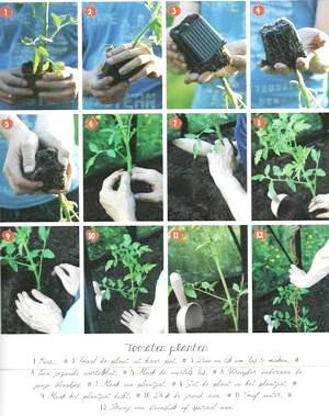 pomodori-tomaten-planten