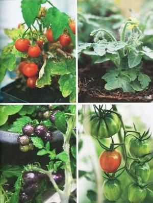 pomodori-vier-fotoos
