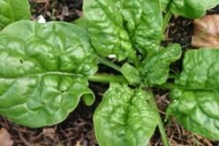 Spinazie - plant.jpg