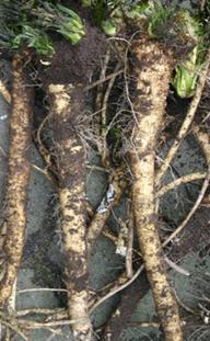 Mierikswortel - rizomen.jpg