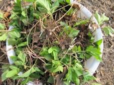 Zevenbladtaartje met daslook en brandnetel - oogst.jpg