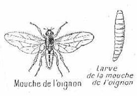 https://www.inra.fr/opie-insectes/images/1921oignon.jpg